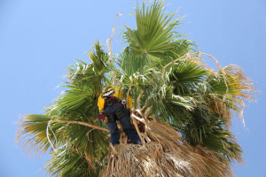 Climbing spikes should not be used when pruning palms. Always prune heavy skirts from the outside. Climbing under fronds to prune can lead to suffocation and death. Photo courtesy: ML Robinson.