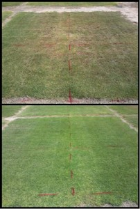 Comparison between bermudagrass that has been irrigated for 3 years at 50% of ETo. Drip irrigated bermudagrass has much higher quality (better visual appearance) than sprinkler irrigated. The plots were next to one another.