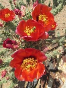 plant 1 0515 Cylindropuntia acanthocarpa