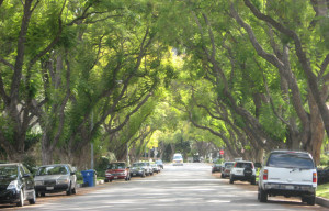 Massive trees provide neighborhood character, but also result in infrastructure damage. Who will pay? Photo courtesy: City of Los Angeles.