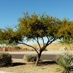 Sweet acacia is a great choice for desert landscapes, no matter what you call it. Photo courtesy: Arizona State University.