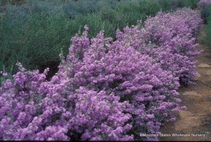 Lynn's Legacy Texas sage is a standout. Photos courtesy: Mountain States Wholesale Nursery.