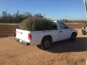Shana Welles found this tumbleweed in Riverside and put in the bed of her pickup truck. Credit: UC Riverside