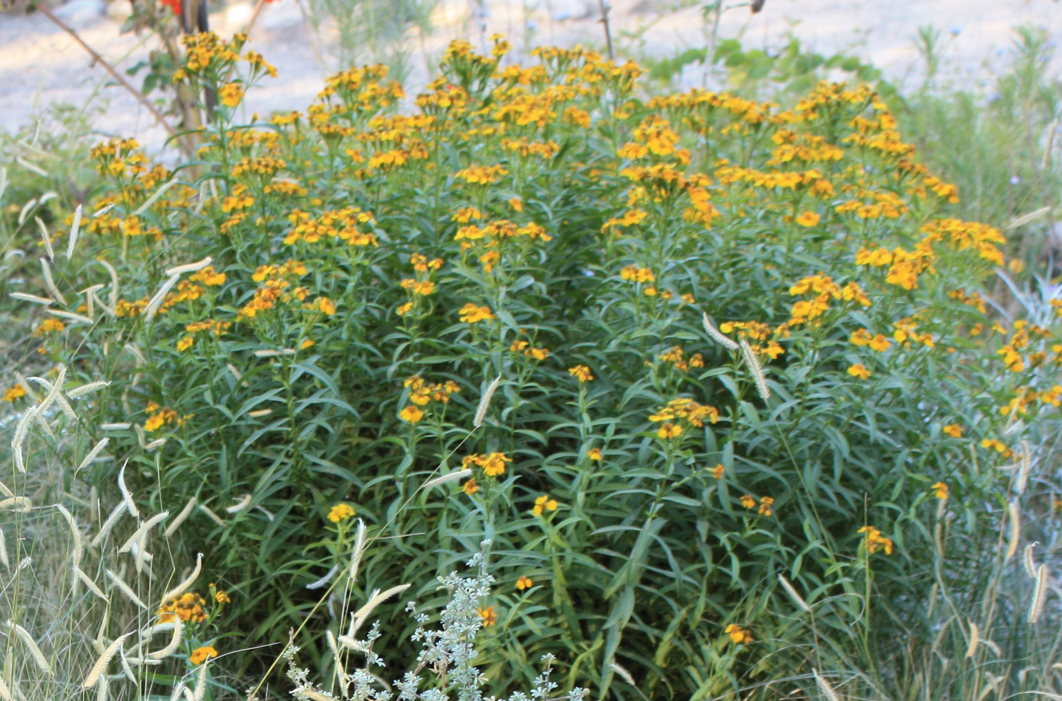 Repel Mosquitoes with Landscape Plants - Southwest Trees and Turf