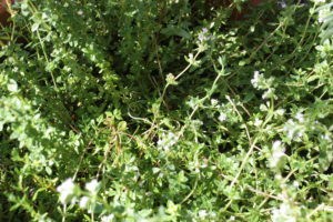 thyme-1600926-c-ja-soule-one-time-use-granted-to-southwest-trees-and-turf